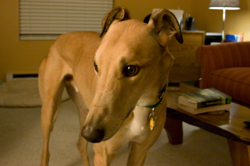 greyhound, faun, dog, pet,